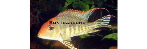 Buntbarsche - Cichliden