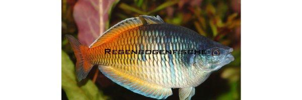 Regenbogenfische & Ährenfische