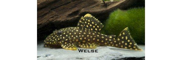 Welse & Welsartige