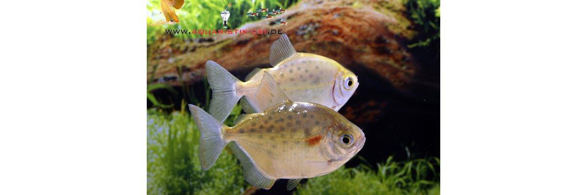 - 3 Neue Scheibensalmler-Arten im Zierfischversand
