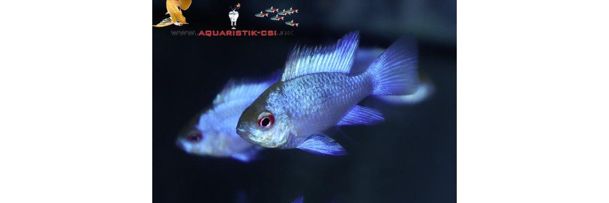 - Schmetterlingsbuntbarsch Elektric Blue M. ramirezi Blue