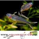 Gabelschwanz-Blauauge Popondichthys furcatus Regenbogenfisch