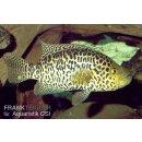 Jaguarcichlide Parachromis managuensis Managua-Buntbarsch