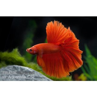 Kampffisch Rot - Betta splendens