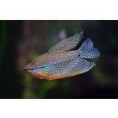 Mosaikfadenfisch Trichogaster leeri Gurami