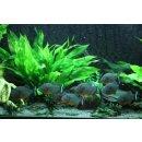 Roter Piranha - Pygocentrus nattereri Zuchtgruppe 8...
