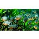 Roter Piranha - Serrasalmus nattereri Pygocentrus
