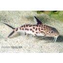 Vielpunkt-Kuckuckswels - Leopard Synodontis multipunctatus