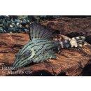 L191 Panaque nigrolineatus Schwarzlinien Harnischwels