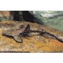 Zweifarbiger Bratpfannenwels-Bunocephalus coracoideus