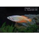Parkinsons Regenbogenfisch Melanotaenia parkinsoni