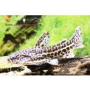 Jaguardornwels Liosomadoras oncinus
