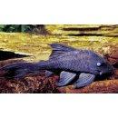 Blauaugen-Harnischwels Panaque suttoni