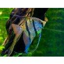 """Pterophyllum scalare """"Rio Nanay"""" Honigflecken"""
