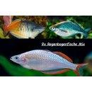 Regenbogenfisch 9er MIX Melanotaenia