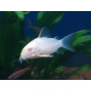 Albino Corydoras sterbai