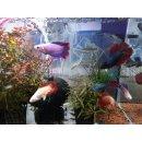 Kampffisch Weibchen MIX Betta splendens Colour