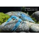 Blauer Floridakrebs Procambarus alleni