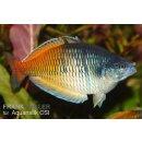 Boesemanns Regenbogenfisch-Melanotaenia boesemani